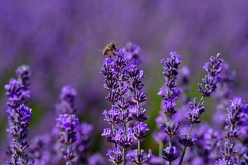 Fleurs de lavande macro, une abeille sur les fleurs.