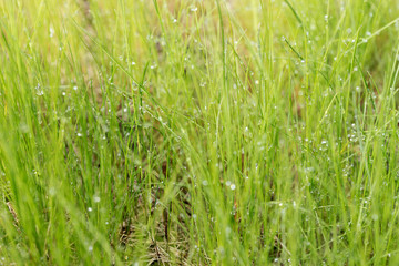 Grass with with rain drops. Blurred Grass Background With Water Drops closeup