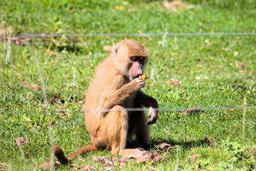 Macaco a comer