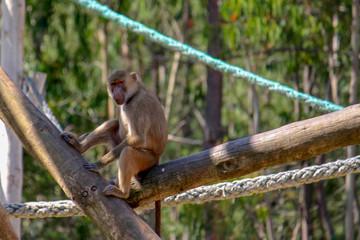 Macaco a descansar