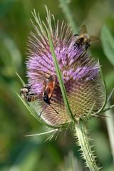 Wilde Karde mit Insekten
