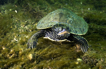 Northern Map Turtle underwater in the St. Lawrence River in Canada