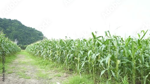 Large Corn Field Near Mountains In Malaysia - Pan - Left To