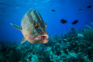Underwater seascape and Nassau Grouper at Little Cayman
