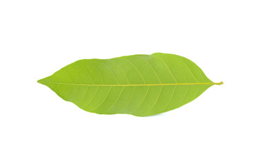 Longan leaves isolated on white background