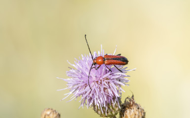 Macro of a Longhorn Beetle (Batyle suturalis) Feeding on Thistle