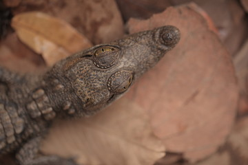 baby crocodile head portrait close up, on brown dried leaves