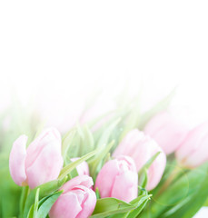 Pink tulip flowers