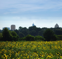SUnflowers in Raleigh