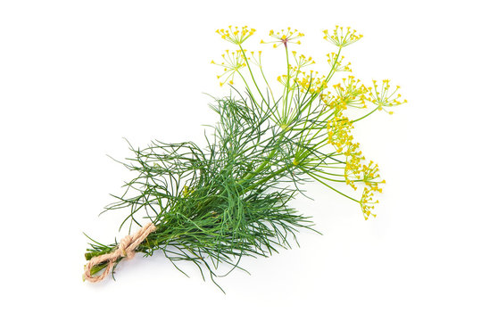 Fresh dill with yellow flowers, isolated on white background.