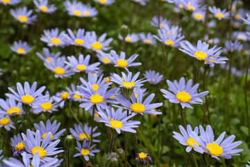 Flowers of blue felicia daisies