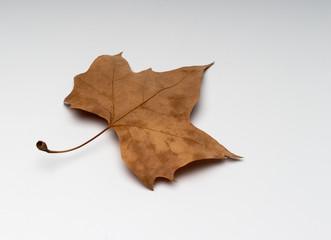 Autumn leaves of plane tree