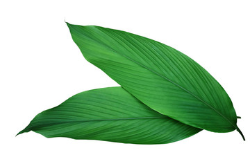 Fototapeta Green leaves of turmeric (Curcuma longa) ginger medicinal herbal plant isolated on white background, clipping path included. obraz