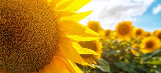 Fototapete - Blooming sunflower crop field