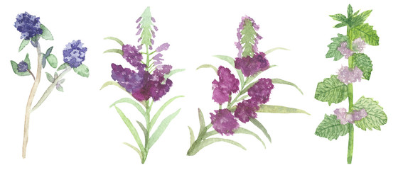 watercolor set of wild flowers for herbal tea, mint, thyme, Melissa. Gentle and healthy herbs for health and beauty.