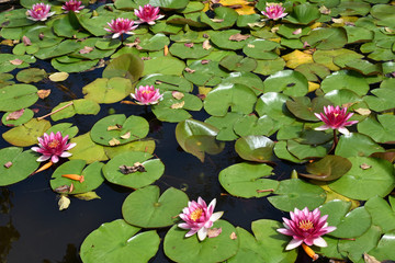 Pink Water Lilies in Lagoon