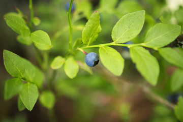 Blueberries close-up. Green bilberry bush with a berry.
