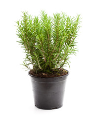 rosemary  plant in black pot isolated on white background
