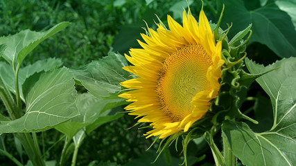A flower of a sunflower against a background of green foliage.