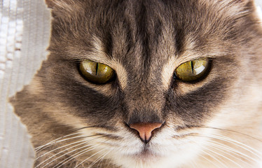 Cat face close-up. Gray cat with big eyes. Portrait of a gray domestic cat