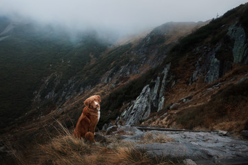 A dog in the mountains. Traveling with the pet. Healthy lifestyle. Nova Scotia Duck Tolling Retriever