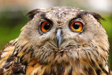 Fototapete - Color portrait europan owl - bubo bubo