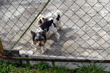 Two small dogs in the garden. Photo through a mesh fence. The concept of the responsibility of owners of domestic animals.