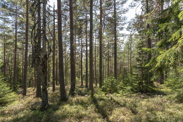 Sunlight in pine forest in Sweden
