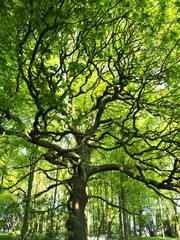 Oak tree in a wood with fresh spring leaves and dappled sunlight