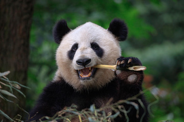 Fotomurales - Panda Bear Eating Bamboo, Bifengxia Panda Reserve in Ya'an Sichuan Province, China. Panda looking at the viewer with mouth open, eating a large chunk of Bamboo. Endangered Species Animal Conservation