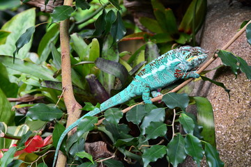 A chameleon walks through its environment looking for lunch.