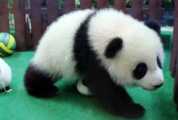 The giant panda (Ailuropoda melanoleuca), also known as panda bear or panda.