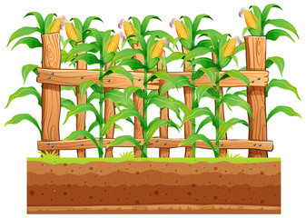 A corn farm on whiote background