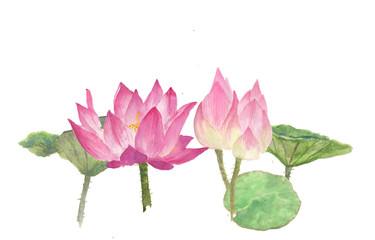 Pink lotus flowers on white, watercolor  illustrator, hand drawnn