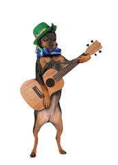 Miniature Pinscher dog with a guitar and a hat