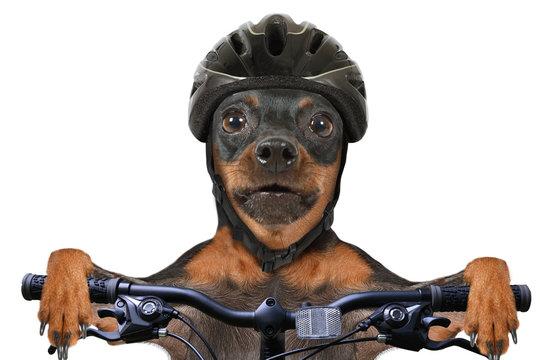 Miniature Pinscher dog cyclist