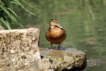 Canard sur une fontaine