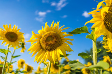 Gorgeous sunflowers on a bright sky background