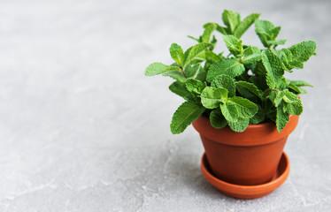 Fresh mint in a pot