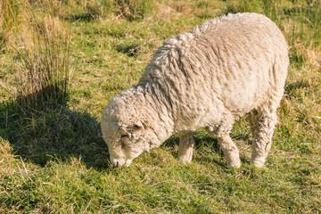 closeup of merino sheep grazing on grass