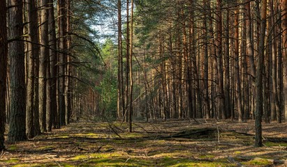 forest landscape. Panorama