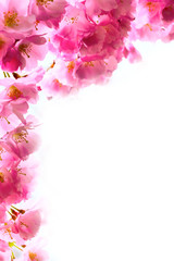holiday background with spring pink cherry blossom, sakura flowers branch