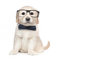 Cute Golden Retriever Puppy with Glasses and Bow Tie