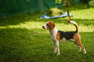 Beagle standing in green park garden outdoors in summer