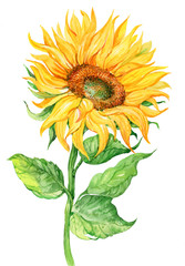Sunflower, watercolor illustration