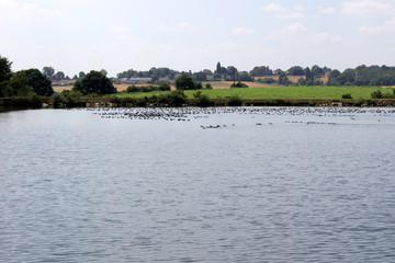 Canards colvert