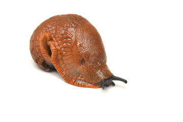 arion rufus slug