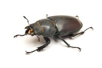 Stag beetle lucanus cervus, female