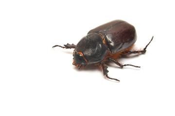 oryctes nasicornis beetle