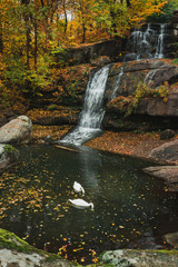 Swans in lake with waterfall in autumn